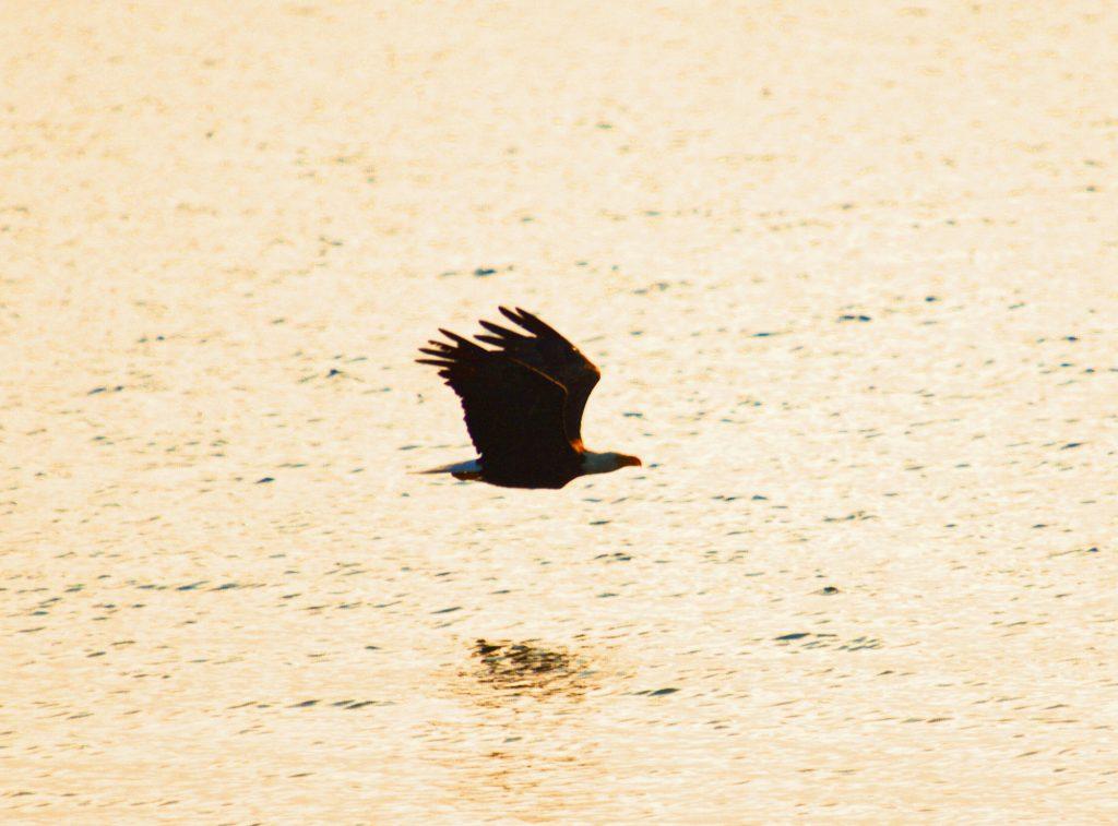 Eagle in Castalia