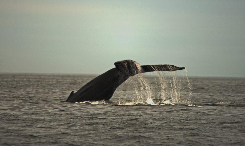 Whale Flukes